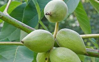 Посадка, выращивание, уход и размножение маньчжурского ореха: как вырастить маньчжурский орех на участке