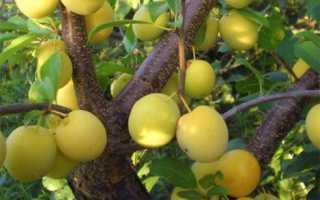 Слива Злато Скифов: описание сорта, отзывы, фото