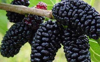 Шелковица черная: фото сортов, посадка, уход и выращивание в Подмосковье, основные характеристики