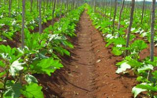 Земля для посадки баклажанов: особенности высадки рассады на открытом грунте