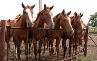 Буденновская порода лошадей: фото, отзывы, описание, характеристика, характер