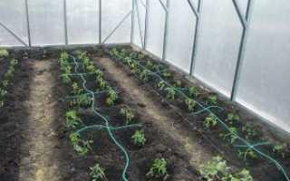 Полив помидоров в теплице: как часто и правильно поливать томаты
