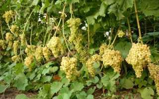 Виноград — Кишмиш 342: описание сорта, фото, отзывы