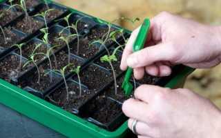 Пикировка томатов: как правильно, когда пикировать после всходов