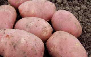 Картофель Рокко: описание сорта, фото, отзывы, особенности выращивания и уход