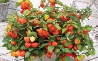Физалис — что это? Физалис: выращивание, посадка и уход, сорта и приготовление блюд из овощного физалиса