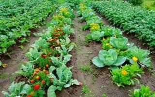 Что можно сажать рядом на одной грядке: совместимость свеклы и капусты с другими овощами