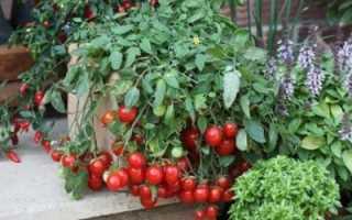 Выращивание помидоров зимой на окне в квартире: можно ли сажать комнатные томаты дома и какие сорта, как ухаживать и бороться с вредителями, советы начинающим
