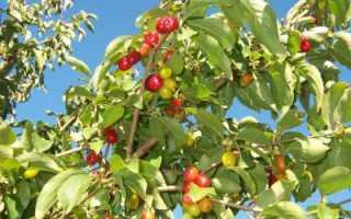 Косточки кизила: полезные свойства и противопоказания
