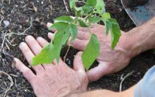 Посадка томатов в теплице: расстояние между кустами, схема, сроки, фото, видео