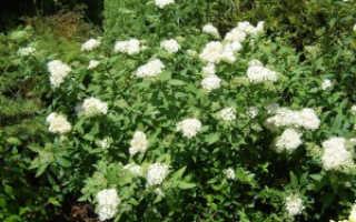 Весенняя царица сада – спирея дубравколистная