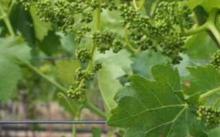 Виноград Тукай: описание сорта, правильный уход и отзывы