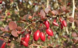 Секреты выращивания барбариса Тунберга сорта Дартс Ред Леди: советы по уходу и обрезке, описание процесса посадки