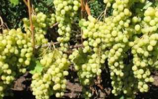 Виноград Лора (Флора) описание сорта с фото, посадка и уход, отзывы