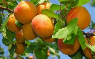 Абрикос — Водолей: описание сорта, опыление, фото, отзывы