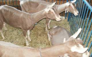 Тоггенбургская коза: описание породы и особенности разведения