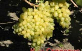 Виноград кишмиш Столетие Описание сорта, особенности выращивания, фото и отзывы
