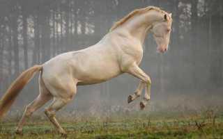Ахалтекинская лошадь: масти, фото