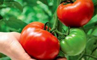 Как защитить томаты от фитофторы — защита томатов от фитофторы — Сад и огород
