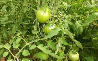 Подкормки помидоров: когда, чем и сколько, Дача