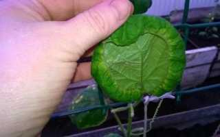 Почему листья у огурцов закручиваются во внутрь? 16 фото Что делать с рассадой в теплице, когда зелень съежилась и крутится
