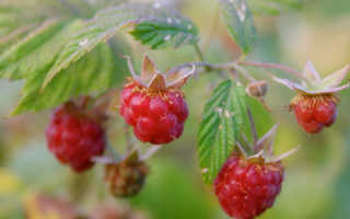 Как и чем удобрять малину весной, лето и осенью в саду, народные средства