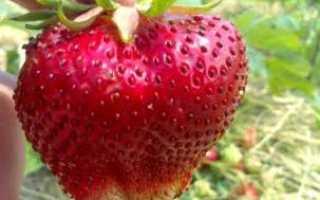 Клубника Чамора Туруси: описание сорта, фото, отзывы садоводов