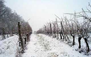 Когда и чем укрывать на зиму виноград?