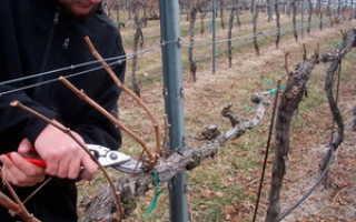 Обработка виноградника осенью: выбор инсектицида, цель и способы опрыскивания перед укрытием на зиму