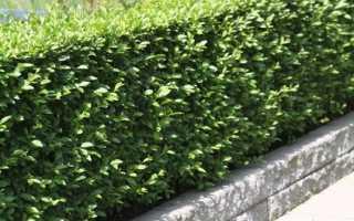 Бирючина притупленная: декоративные деревья и кустарники, фото