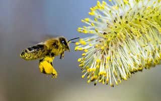 Зачем пчелы делают мед и откуда добывают