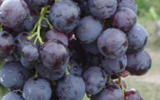 Виноград Кардинал: описание сорта, фото, отзывы