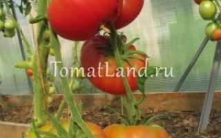 Томат Дикая роза: описание сорта, отзывы, фото, урожайность