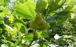 Лещина: фото и описание дерева
