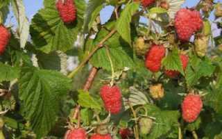 Малиновое дерево Таруса: отзывы, описание, фото, посадка и уход