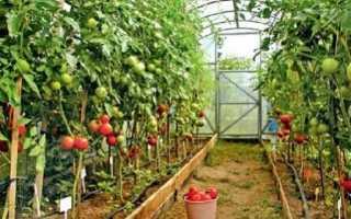 Высокорослые томаты для теплицы: высокоурожайные