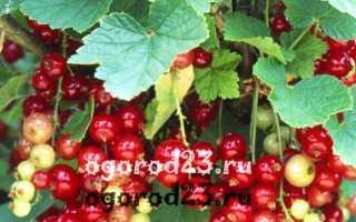 Посадка красной смородины, описание сорта Мармеладница