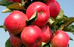 Сорт яблони Елена: описание, фото