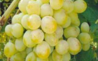 Виноград Восторг (мускатный, красный, черный, белый) описание сорта, выращивание и отзывы