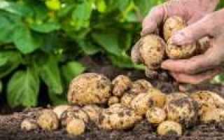 Картофель посадка и выращивание видео заметки дачника