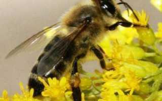 Карпатские пчелы: отзывы, фото, характеристика