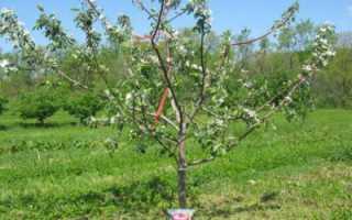 Как и когда сажать саженцы плодовых деревьев весной?