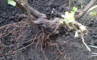 Пересадка винограда осенью: сроки, способы, правила, Заготовки на зиму