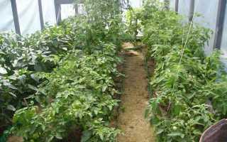 Низкорослые сорта помидоров для теплиц