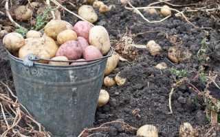 Через какое время после цветения можно копать молодой картофель на хранение