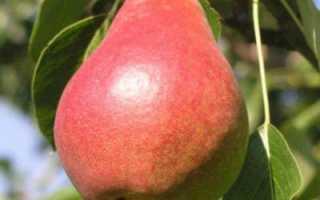 Груша Яковлевская: описание сорта, посадка, выращивание, отзывы