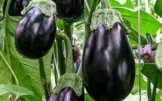 Баклажан Черный красавец: описание, фото, отзывы