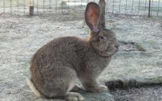 Кролики фландр: описание и фото