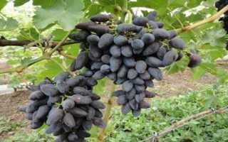 Сорт Викинг (виноград): описание, выращивание, отзывы