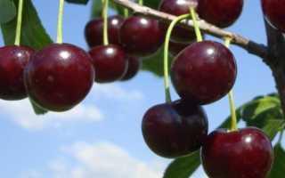 Вишня Шоколадница: описание сорта, посадка и уход, болезни и вредители